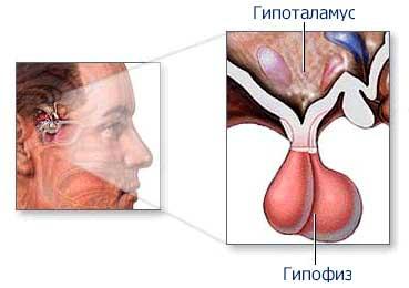 hipofiz və hipotalamus
